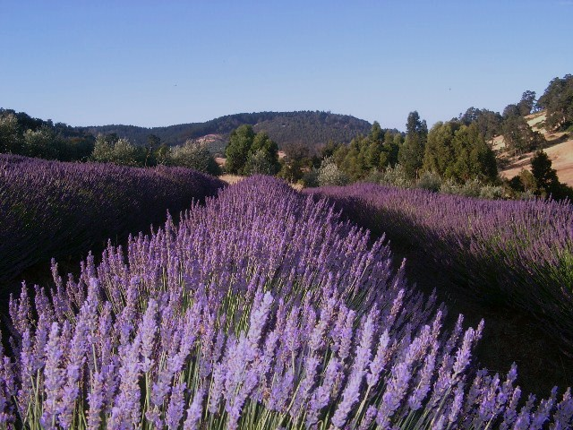 Lavender in Bloom2